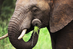 Elephant eating close-up stock photography