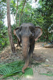 Elephant eating coconut leaves Royalty Free Stock Images