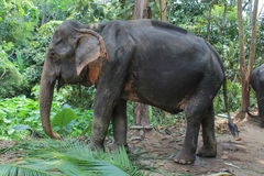 Elephant eating coconut leaves Royalty Free Stock Photos