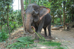 Elephant eating coconut leaves Royalty Free Stock Photography