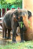 Elephant eating Stock Photography