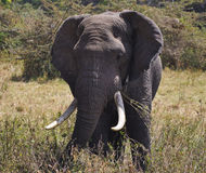 Elephant. Eating elephants in african savanna Royalty Free Stock Image