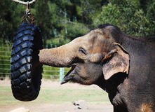 Elephant. Eating food from a tire Royalty Free Stock Photo