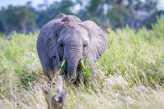 Elephant eating in front of the camera. Stock Images