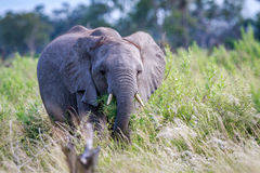 Elephant eating in front of the camera. Stock Image