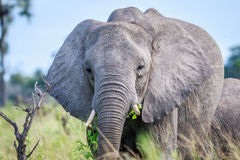 Elephant eating in front of the camera. Stock Photos