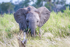 Elephant eating in front of the camera. Royalty Free Stock Images