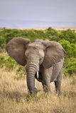 Elephant eating grass. Wild elephant eating tall grass in Africa Royalty Free Stock Photo