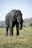 Elephant eating grass Stock Photo