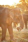 Elephant eating grass Stock Photos