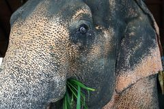 Elephant eating grass stock photography