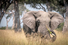 An Elephant eating in the grass. Stock Photography