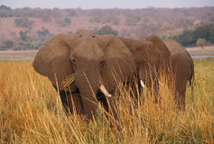 Elephant eating grass in Chobe riverfron Stock Photography
