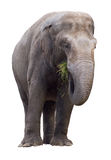 Elephant eating grass cutout. Elephant eating grass isolated on white with clipping path Royalty Free Stock Image