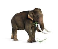 Elephant eating grass. Elephant eat grass on a white background Stock Image