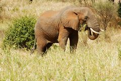 Elephant eating grass Royalty Free Stock Image