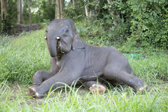 Elephant eating grass Royalty Free Stock Photos