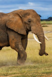 Elephant eating grass. Portrait of a big Elephant male in Amboseli National Park in Kenya stock photo