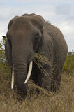 Elephant eating grass in Tanzania Royalty Free Stock Photo
