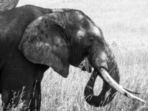 Elephant is eating grass with the trunk on the savannah royalty free stock images