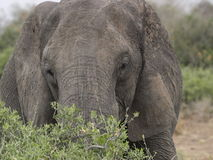 Elephant. Eating from green bush Royalty Free Stock Photos