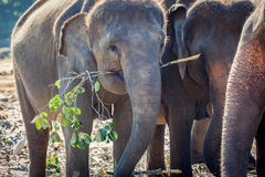 Elephant Eating in Group of Elephants Stock Photo