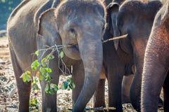 Elephant Eating in Group of Elephants stock photo