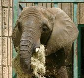 Pachyderm packing it away royalty free stock photos