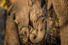 An Elephant eating in the Kruger National Park. Stock Image