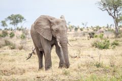Elephant eating in the Kruger. Stock Image