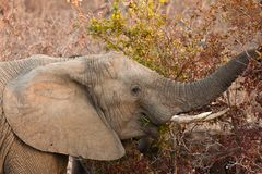 Elephant eating leaves from a tree Stock Photography