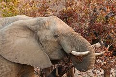 Elephant eating leaves from a tree Royalty Free Stock Photo