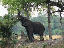 Elephant eating leaves stock photo