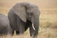 Elephant eating Stock Photography