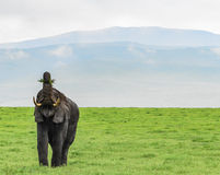 Elephant eating. Elephant with mouth wide open and trunk held high holding grass ready to eat royalty free stock images