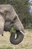 Elephant eating Stock Photo