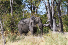 Elephant eating Royalty Free Stock Photography