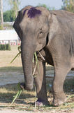 Elephant eating palm tree leaves Stock Photography