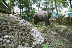 Elephant eating plants royalty free stock photos