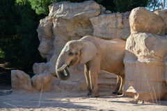 Elephant eating. An elephant eating with it's trunk Royalty Free Stock Photo