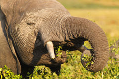 Elephant Eating - Safari Kenya Royalty Free Stock Images