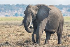 Elephant eating Royalty Free Stock Photos