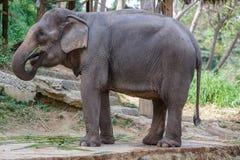 Elephant eating some grass. Thai elephant eating some grass stock photos
