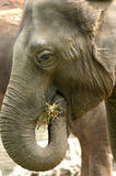 Elephant Eating Straw Stock Images