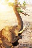 Elephant Eating At Sunrise Stock Images