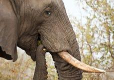 Elephant eating thorn bush Royalty Free Stock Photography