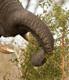 Elephant eating thorn bush Stock Photo