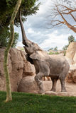 Elephant eating from a tree Stock Image