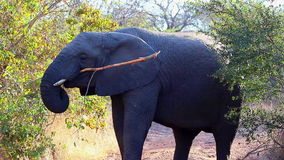 Elephant eating from a tree 1 stock footage