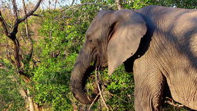Elephant eating from a tree 3 stock video
